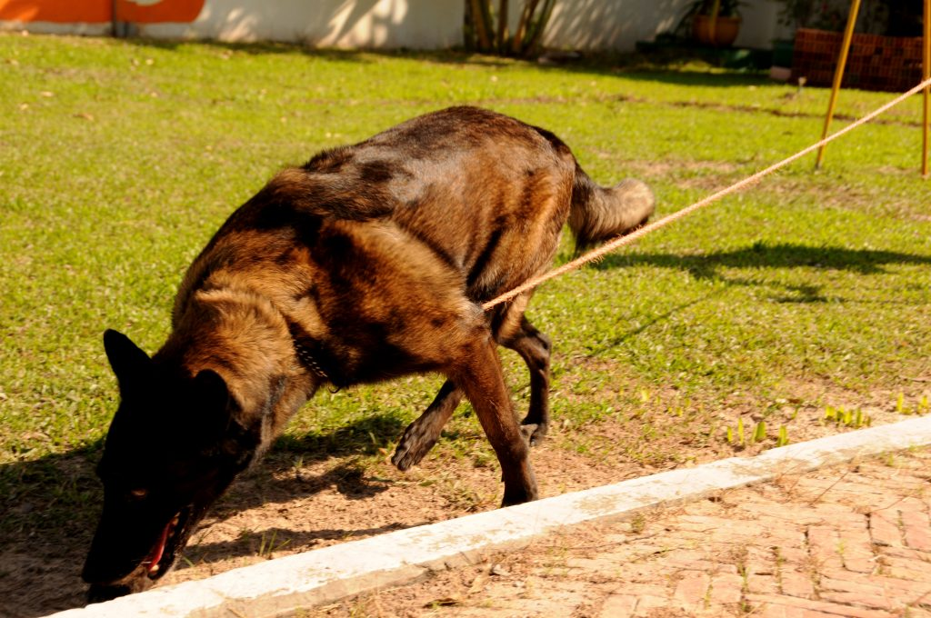 landmine detection dog